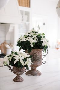 Poinsettias in pots on kitchen counter